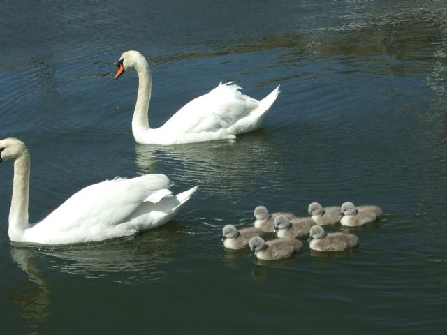 Swan and cygnet (Courtesy of Rhona and Dougie McNeil)