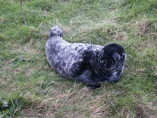 Seal visits the harbour (Courtesy of Rhona and Dougie McNeil)